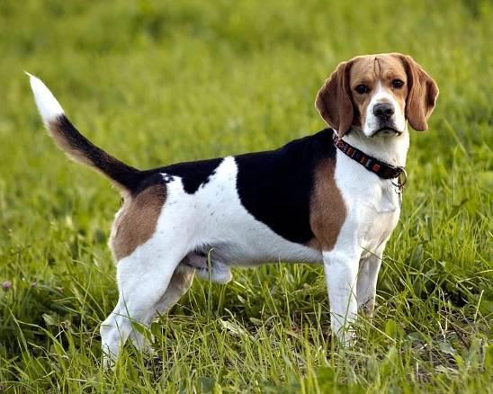 Anglický Foxhound Anglický Foxhound