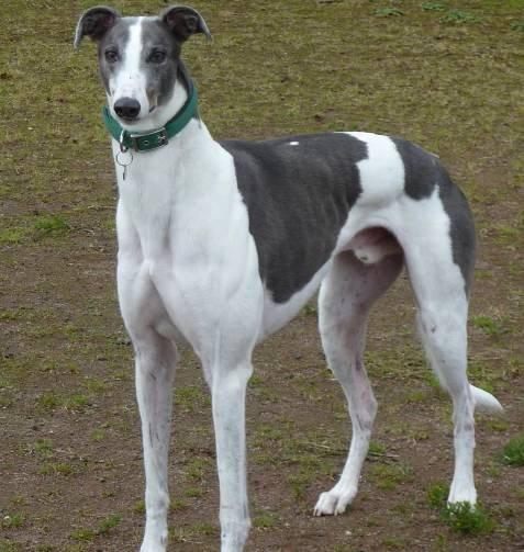 Greyhound Dog - All Big Dog Breeds